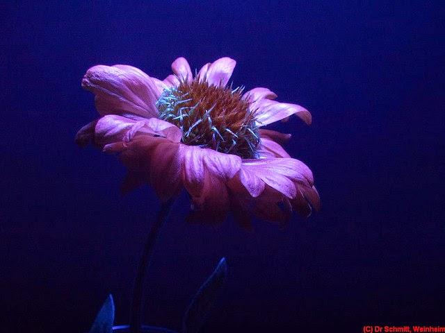 gailardia flower