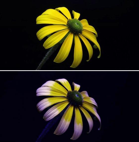 rudbeckia flower-tetra sim