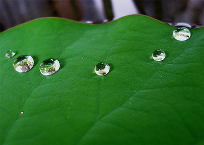 Lotus leaf with dew