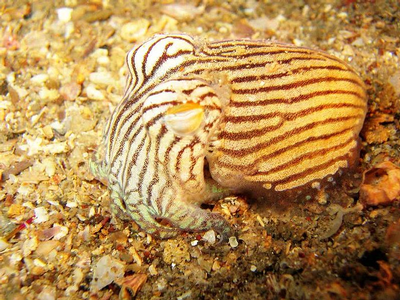 Striped Pajama Squid