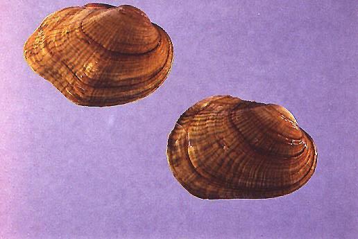 Northern Riffleshell mussel