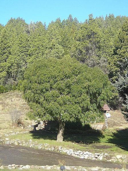 Maytenus trees