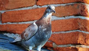 Pigeons Track Lead Dangers